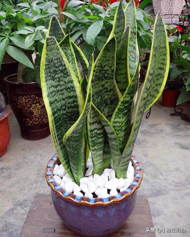 虎皮兰的叶子卷缩图片 请问,以下图片里盆栽虎