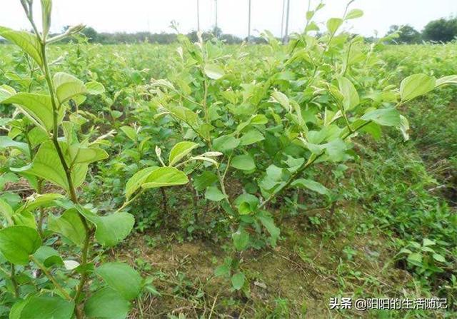 植物奶牛图片:牛奶枣生长条件,适合如何种植?(相关长尾词)