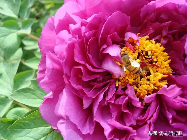 芜湖丫山现在牡丹花开了么?