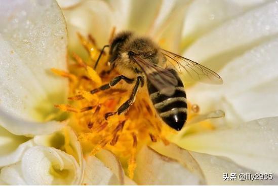 蜂胶的功效(蜂胶的功效与作用及副作用)