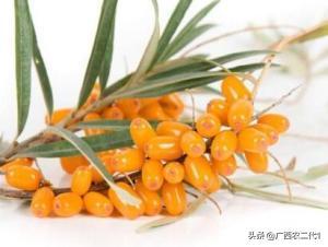 沙棘籽油凭什么被称为黄金油?