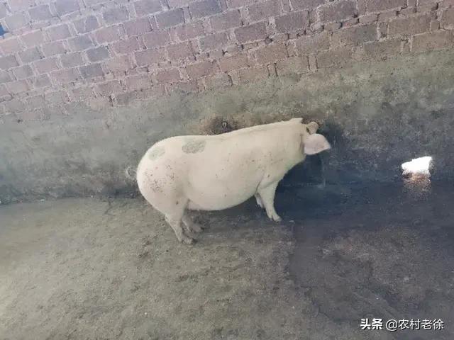 养鸡长年喂草粉行吗?一千万大约能建个多大规模的养猪场?(图3)