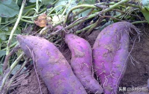 我想种紫薯,产量怎么样?