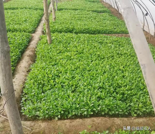 种茄子应该怎样搭架子  4月初茄子露地种植后还