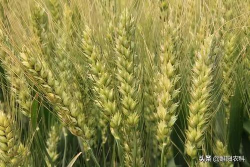 小麦扬花期能打药吗  离收麦还有二十天左右,小