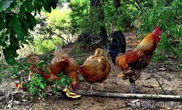 把鸡养在菜园里,有哪些坏处?养猪种植什么牧草比较好?