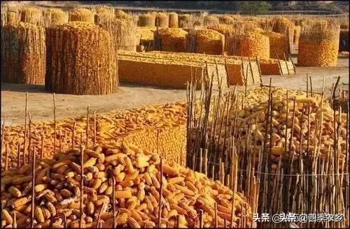"""黄玉米涨到什么时候 黄玉米涨成""""金玉米"""",粮"""