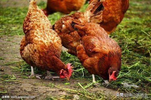 夏季给鸡吃什么草药?在农村创业搞科水狼,要怎么做(规模),收入多少才实现财务自由?(图3)