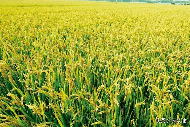 钼超标的水种水稻会有残留吗?