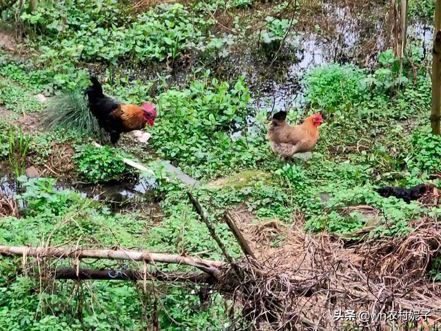 请问在农村放养家禽可以吗?
