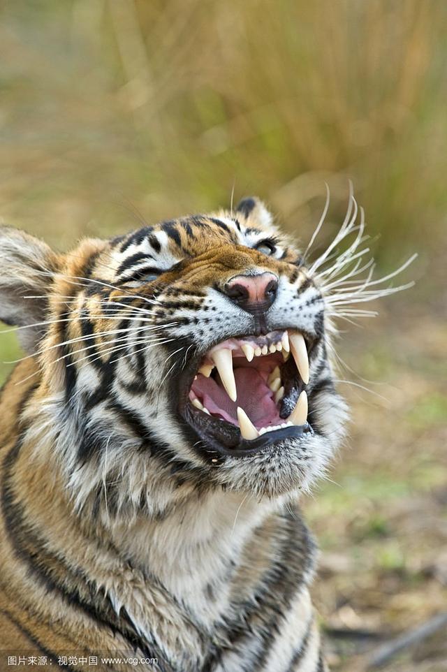 属虎的人最大缺点是什么?