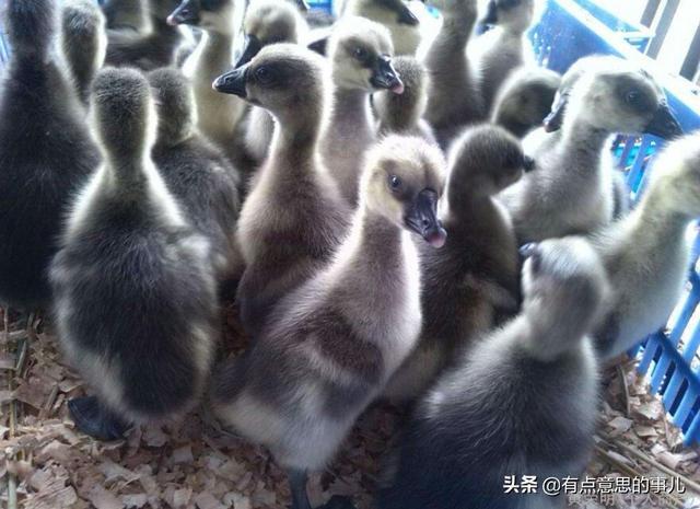 鹅苗价格居高不下,现在养鹅还有利润吗?农村建养殖场有补贴吗?