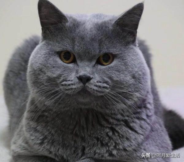 真的球球大家推荐个猫粮,我家三个月公猫英短白蓝猫吃了几天凯瑞思的猫粮,毛发变浅了,吃啥猫粮?求推荐?