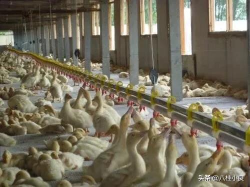 肉鸭黄病毒又来了,如何防治最好?