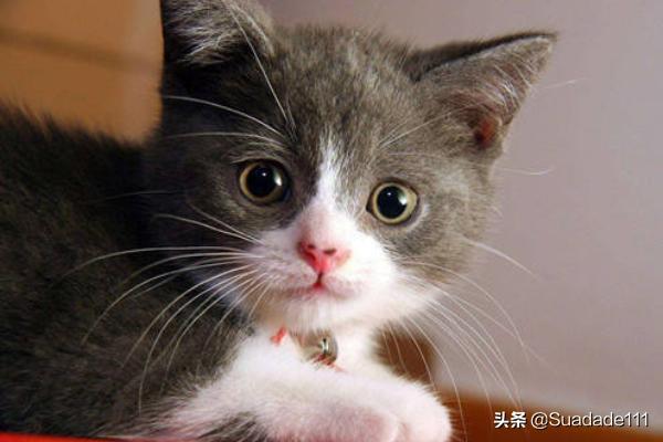 猫粮需要用开水泡么?
