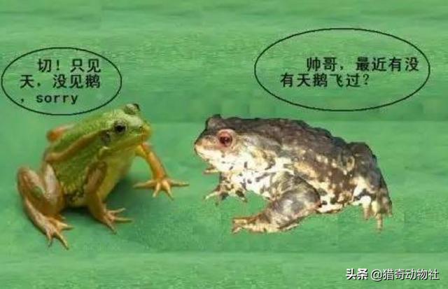 蛤蟆图片,如何区分青蛙、癞蛤蟆、蟾蜍?