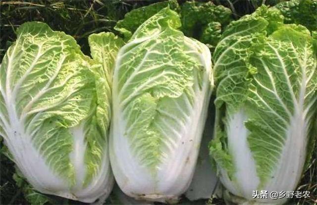 春季露地大白菜如何栽培能高产?
