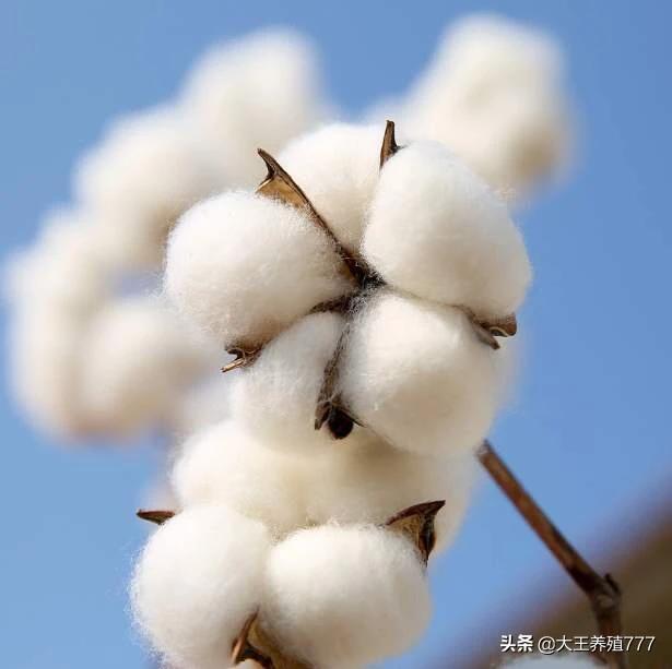 为什么国家出台了很多改策,棉花市场还如此低,对棉农打击很大?(图4)