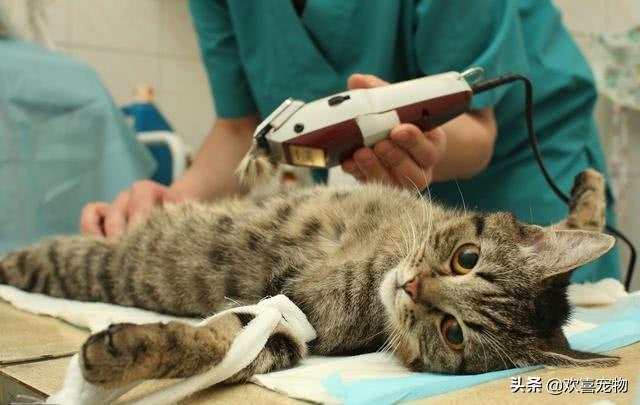 猫咪绝育残忍:不想给猫做绝育也不想配种
