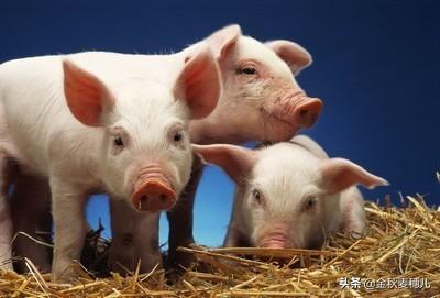 两个猪睡在一起的图片,两圈猪合在一起打架怎么办?
