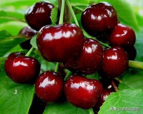 种植露地大樱桃该如何搭配樱桃品种?