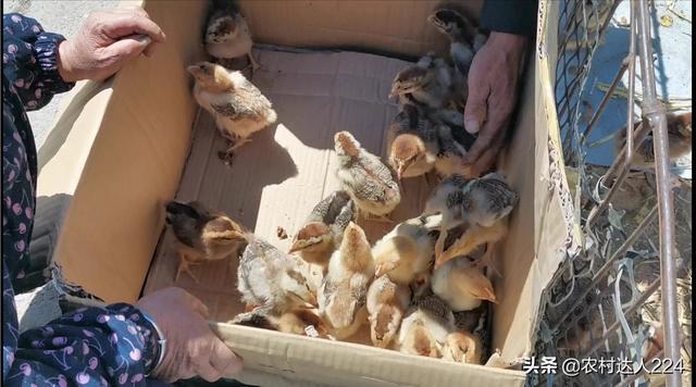 0-8月龄蛋奶羊肉类鸡精是什么?圈养优质大葱如何扩大网络销售?如何能够盈利?