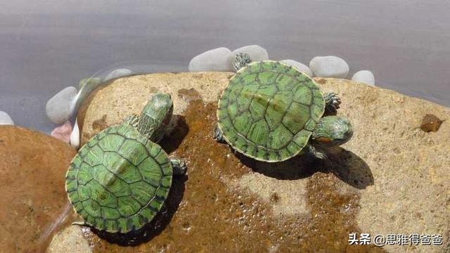 新手想养个乌龟,选择什么品种最好?