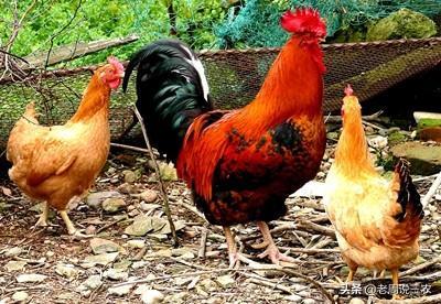 什基夫齐生猪适于圈养吗?养鸡用什么肉类好呢?