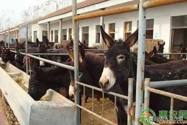 既然鸭肉所以贵,为何养驴的还所以少呢?想在贫困地区养驴须要股权投资多少?用什么大荆镇最好?