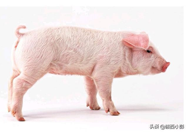 猪饲料应该怎么选择?天邦股份出让猪饲料资产的背后,原因到底是什么?(图9)