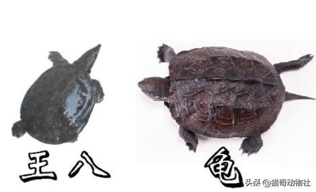 乌龟的品种及其介绍 (要全)?