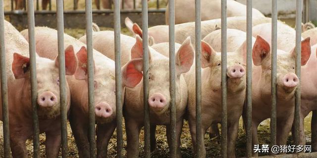 2021年10大猪企业 2021年各大龙头猪企出栏计划是多