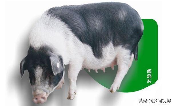 小猪图片,如何用CAD画小猪佩奇?