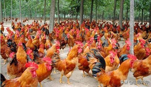 养殖家禽如何?