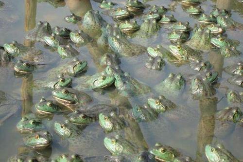 入侵我国的牛蛙导致国内哪些物种的灭绝,为啥最后成了餐桌美食?